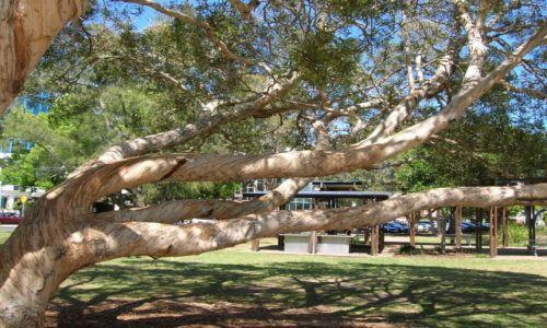 Zdjecie AUSTRALIA / Sunshine Coast / Maroochydore / Papierowe drzewo w Maroochydore