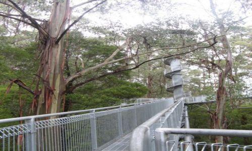 AUSTRALIA / Victoria / PArk NArodowy Otway / Kładka w koronach drzew lasu deszczowego Otwey
