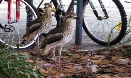 AUSTRALIA / Cairns / Park miejski / Kulon australijski gniazduje w centrum miasta