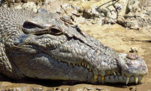 AUSTRALIA / Daintree Nat. Park / rzeka Daintree / Krokodyl różańcowy