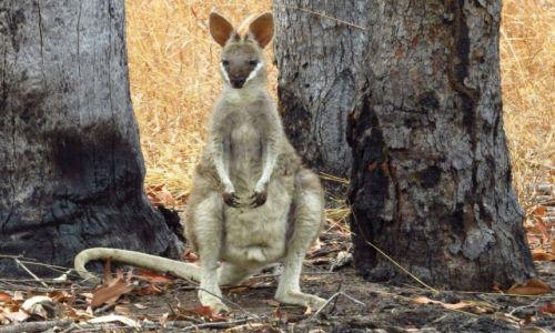 AUSTRALIA / Queensland / Mareeba / Kangur
