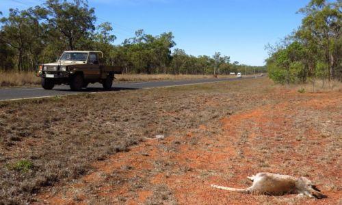 AUSTRALIA / Queensland / Mareeba / Na drogach ginie mnóstwo kangurów