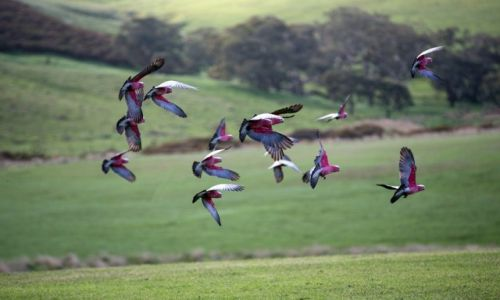 Zdjęcie AUSTRALIA / Polwysep Fleurieu / okolice Rapids Bay / papugi gallah