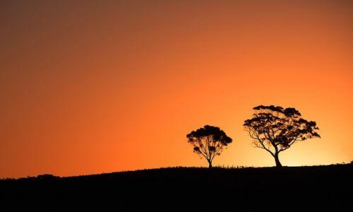 Zdjecie AUSTRALIA / Południowa Australia / Barossa / eukaliptusy