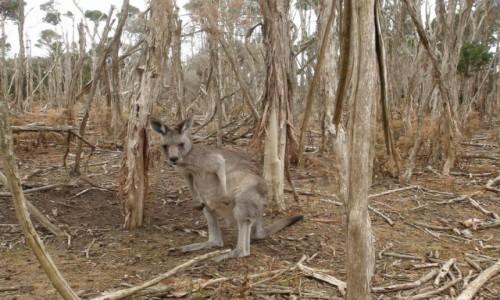 Zdjecie AUSTRALIA / VIC / Phillip Island / A kto mnie oglada?