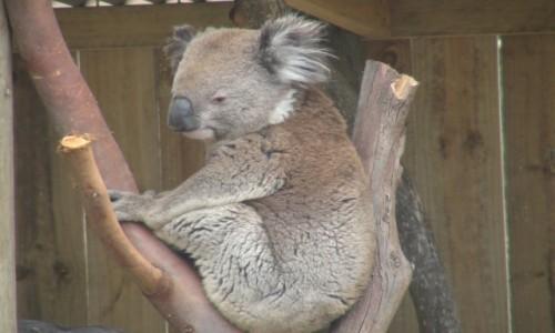 Zdjecie AUSTRALIA / NSW / SYdney / koala