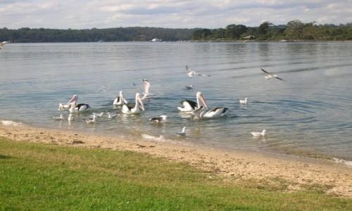 Zdjęcie AUSTRALIA / Victoria / Metung / Pelikany na Lake King