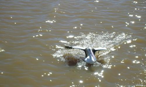 Zdjęcie AUSTRALIA / Wsch Australia / Tweed River / Pelikan