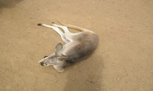 Zdjecie AUSTRALIA / Qld / Qld / Red kangaroo