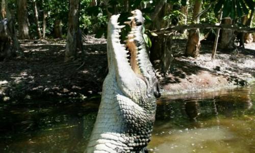 Zdjecie AUSTRALIA / Cairns / Okolice Cairns / Krokodyl w akcj