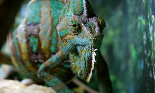 Zdjęcie AUSTRALIA / Queensland / Daintree NP / Kameleon