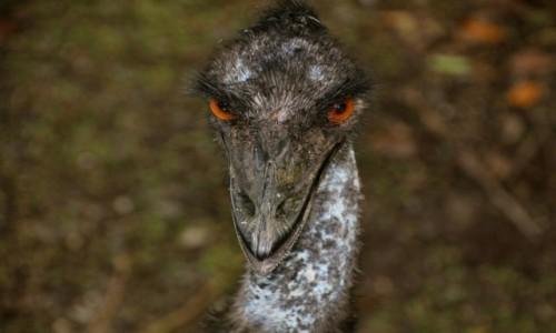 AUSTRALIA / Queensland / Daintree / Emu jak dinozaur