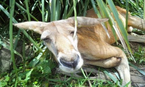 Zdjęcie AUSTRALIA / Gold Coast / Currumbin Wildlife Sanctuary / Sleepy Head