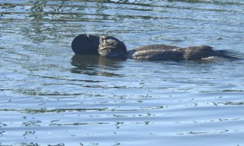 Zdjęcie AUSTRALIA / Wiktoria / Rezerwat Lake Purrumbete / Bisiorka (Biziura lobata) Musk Duck