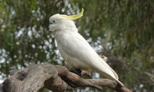 Zdjecie AUSTRALIA / NSW / NSW / Czupurek II