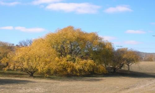 Zdjecie AUSTRALIA / ACT / ACT / Zloto jesieni