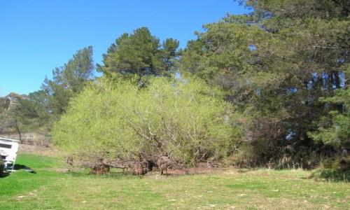 Zdjęcie AUSTRALIA / Blayney / okolice / Rude drzewa..