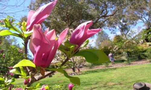 Zdjęcie AUSTRALIA / NSW / Cowra / Wiosna i magnolia