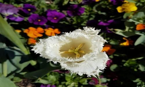 Zdjecie AUSTRALIA / Canberra / Floriada / Bialy tulipan..