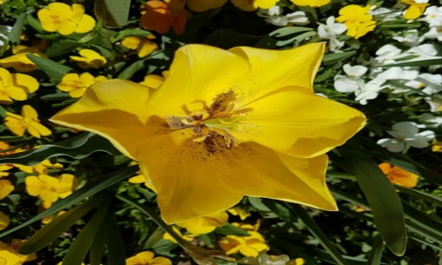 Zdjecie AUSTRALIA / Canberra / Floriada / Tulipan wiosennie.