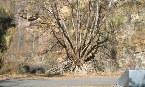 Zdjecie AUSTRALIA / Brisbane  / Kangooroo peninsula. / Drzewa na klifach