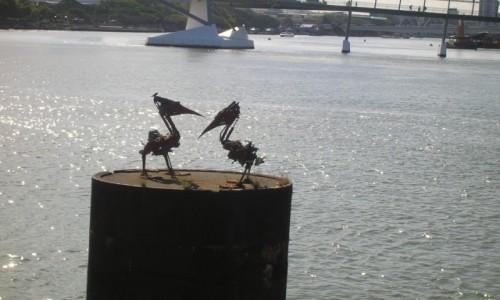 Zdjecie AUSTRALIA / Qld / Brisbane / Brisbane River i pelikany