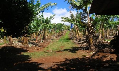 Zdjecie AUSTRALIA / NSW / na farmie / Aleja bananow