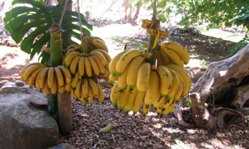 Zdjecie AUSTRALIA / NSW / na farmie / Banany i zjedzone orzechy macadamia