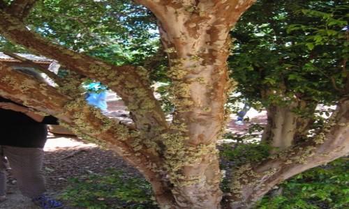 AUSTRALIA / NSW / na farmie / Owoce rosnace na pniu drzewa.