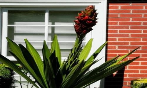 Zdjecie AUSTRALIA / VIC  / Mornington / Kwiat palmy