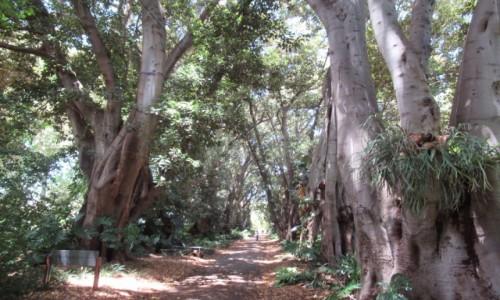 Zdjecie AUSTRALIA / Adeleide / Park Botaniczny / Murdoch Aveneu