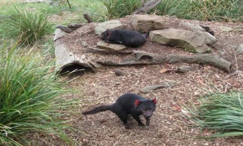 Zdjecie AUSTRALIA / Hobart / Bonorong Wildlife Sanctuary / Diabel Tasmanski