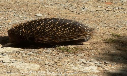 Zdjecie AUSTRALIA / Wiktoria  / The Briars Park /  Kuzynka jeża - kolczatka