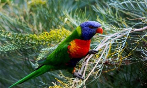 Zdjecie AUSTRALIA / NSW / Nelson Bay / Lorikeet