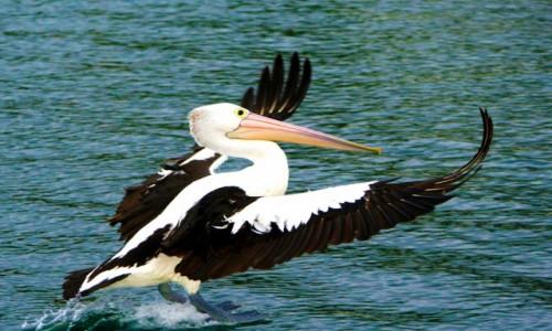 Zdjecie AUSTRALIA / NSW / Nelson Bay / Pelikan