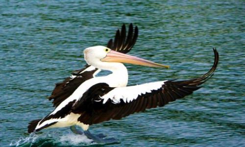 AUSTRALIA / NSW / Nelson Bay / Pelikan