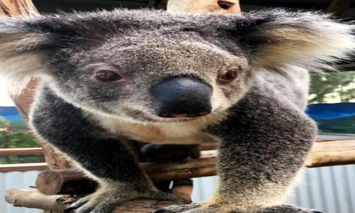 Zdjecie AUSTRALIA / NSW / Nelson Bay / Koala