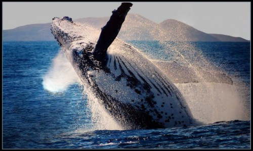 AUSTRALIA / NSW / Port Stephens / Humpback