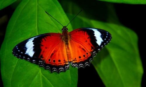 Zdjecie AUSTRALIA / NSW / Cairns / Motyl