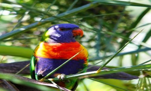 AUSTRALIA / NPW / Nelson Bay / Papuga