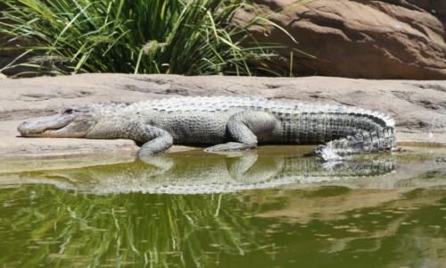 Zdjecie AUSTRALIA / N.P.W / Port Stephens / Krokodyl