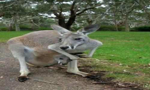 Zdjecie AUSTRALIA / brak / MOUNT LOFTY / jednak najbezpieczniej jest u mamy...