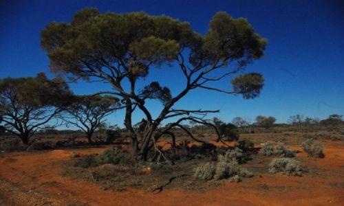 Zdjecie AUSTRALIA / South Australia / Glendambo / Eukaliptus