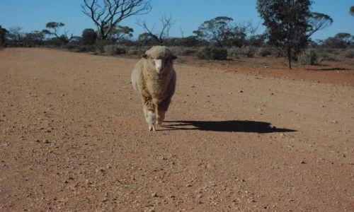 Zdjecie AUSTRALIA / South Australia / Glendambo / Owieczka