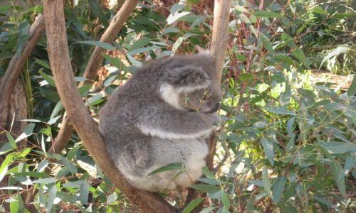 Zdjecie AUSTRALIA / Victoria / Phillip Island  / Miś koala