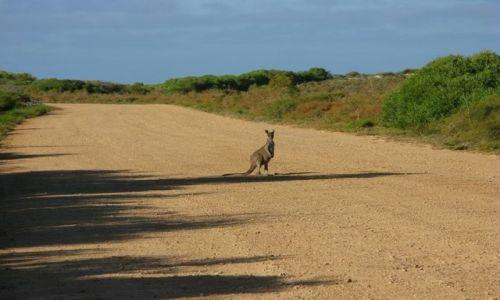 Zdjecie AUSTRALIA / WA / Pinacle desert / Kangur 1