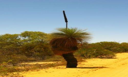 Zdjecie AUSTRALIA / WA / Francois Peron National Park / drzewo strus