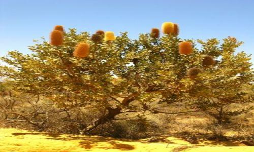 Zdjecie AUSTRALIA / WA / Francois Peron National Park / drzewo 1