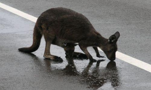 Zdjecie AUSTRALIA / Kangaroo Island / Kangaroo Island / Maleństwo