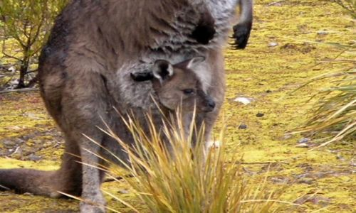 Zdjecie AUSTRALIA / Kangaroo Island / Kangaroo Island / Maleństwo-2